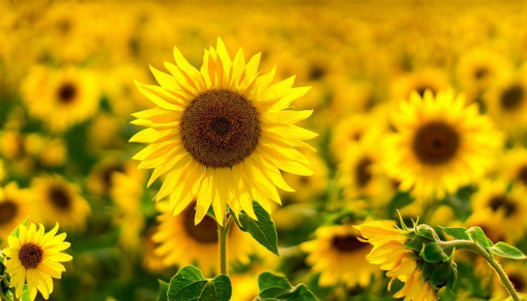 Czy słonecznik jest zdrowy?